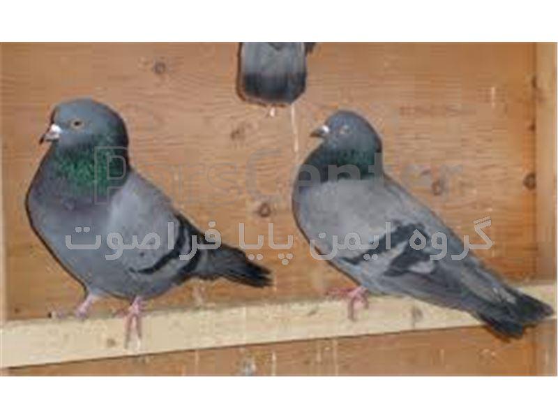 فراری دهنده کبوترچاهی- دفع کبوتر- دورکننده یاکریم