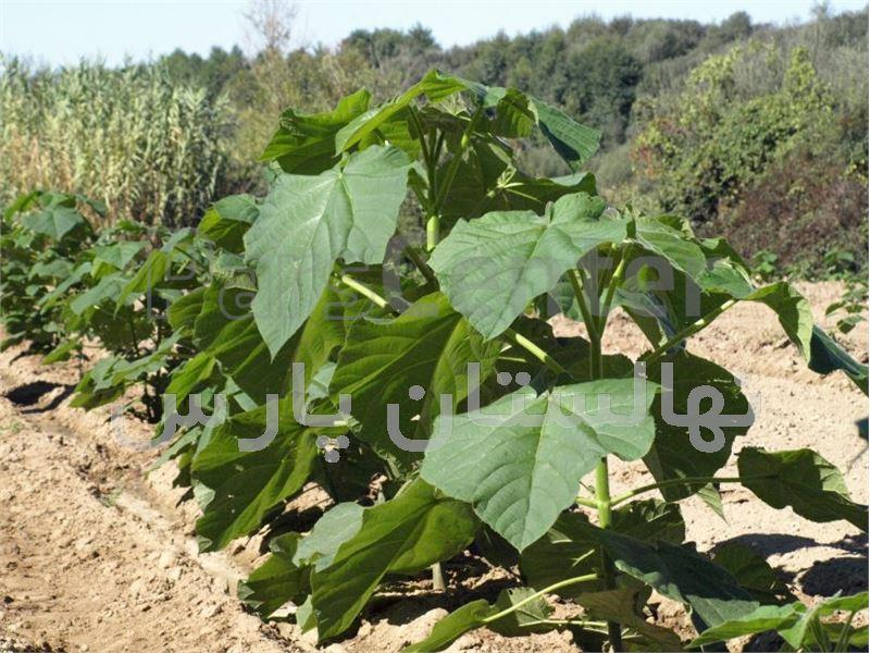 درخت پالونیا،مطالب ناگفته در موردپالونیا