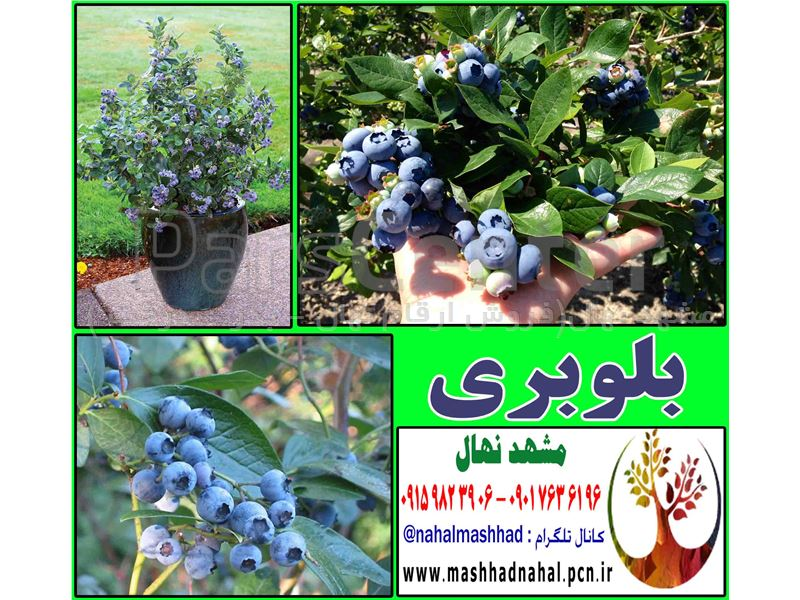 نهال بلوبری-Blueberry