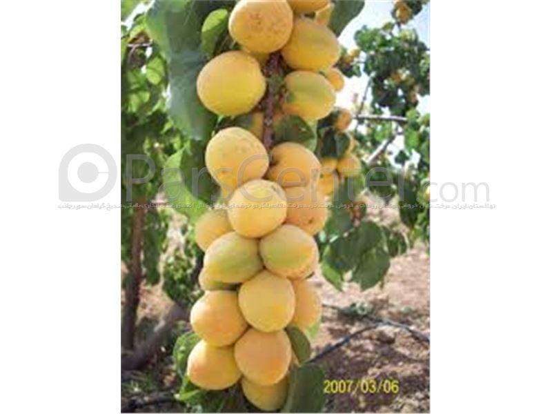 انواع نهال زردآلو_زردالوجهانگیری_treeApricot