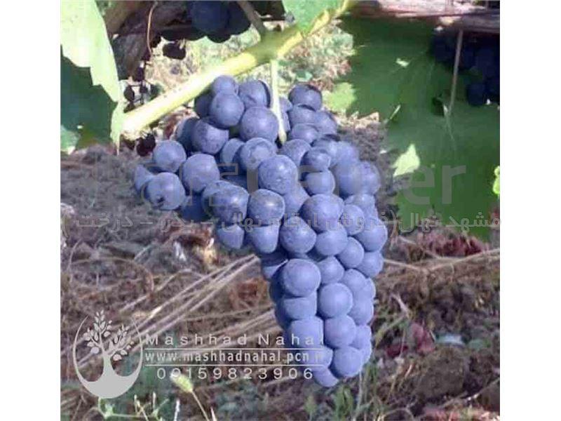 نهال انگور تراکیا ایلکرن