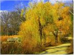 بید زرد،بید طلایی Yellow willow
