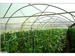 پلاستیک گلخانه سه لایه 8متری با یووی 10درصد
