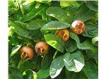 ازگیل/درخت ازگیل/Mespilus germanica