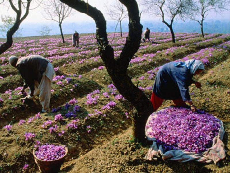 Iranian saffron, the red gold of the world
