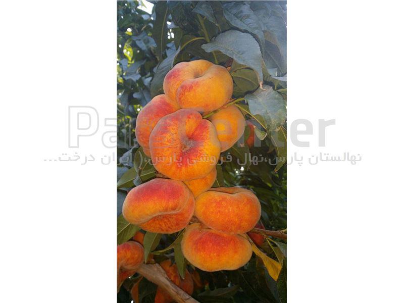 نهال هلو انجیری پلنگی_هلو تایگر_tree Flat peach