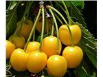 نهال میوه گیلاس زرد ارومیه