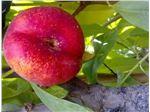 شلیل انجیری-نهال شلیل انجیری-درخت شلیل انجیری