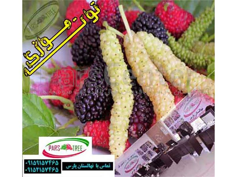 درخت توت موزی- Mull berry- نهال توت موزی- مول بری
