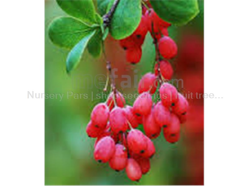 Tree saplings Barberry Barberry # # Seed Barberry