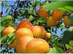 نهال میوه زرد آلوی نصیری