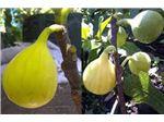 نهال میوه انجیر استهبان
