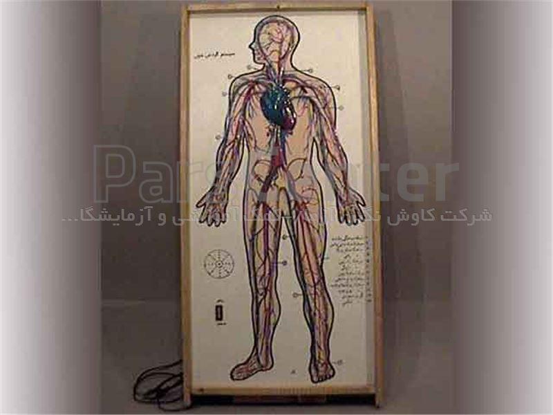 مولاژ گردش خون انسان p.v.c نشکن