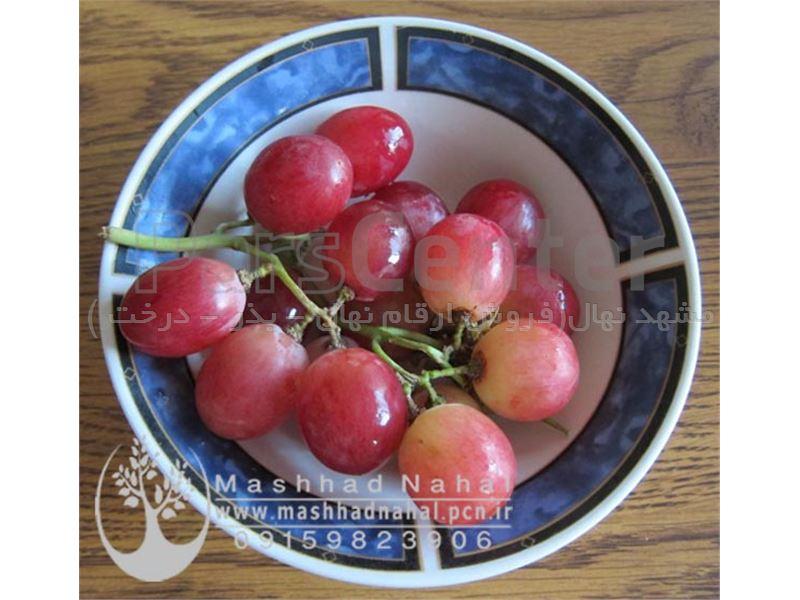نهال انگور ردگلوب-Grapes RedGlobe