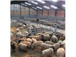 دوره آموزشی پرواربندی گوسفند و بز