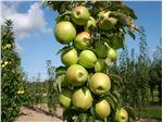 نهال میوه سیب گلدن دلیشز