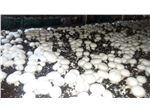 پرورش قارچ ، کمپوست قارچ ، بذر قارچ ، فروش کمپوست قارچ