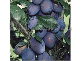 آلواستنلی/stanley plum