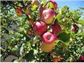 سیب شیخ امیری،tree apple