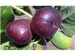 نهال میوه انجیر سیاه
