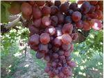 انگور،قزل،نهال انگور قزل،grape