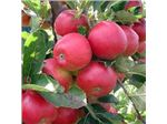 ارقام سیب پایه مالینگ،سیب گالا،سیب فوجی،سیب گلدن،سیب گلدن د