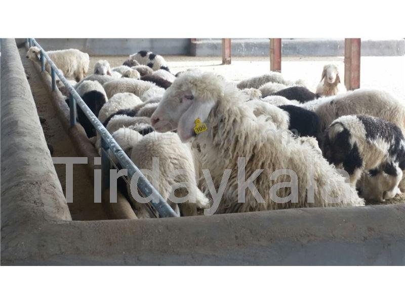 Sheep ear tag medium size