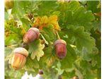 نهال  بلوط ، بلوط شیرین یا شاه بلوط اروپایی،Oak