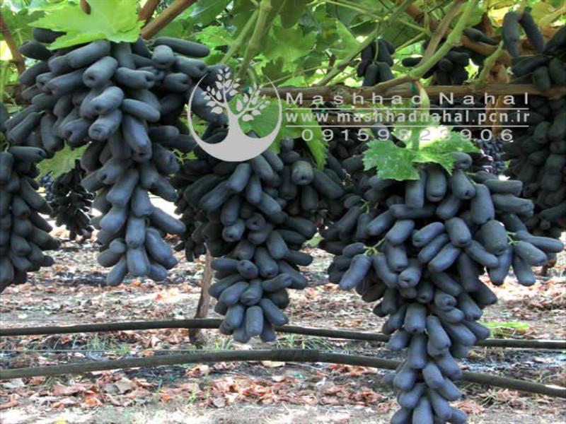 نهال انگور موندراپ Grape Mondrap - انگور سوییت شاپر