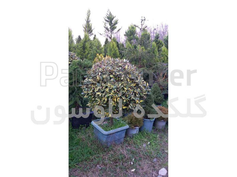 درختچه الاگنوس پیوندی (الیگنوس) جعبه 50