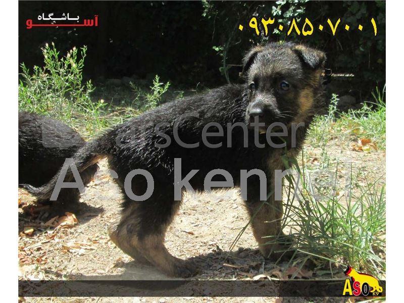 عکس سگ ژرمن شفرد