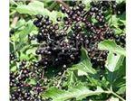 انگور کولی،گیاه انگور کولی،آقطی سیاه (انگور کولی)
