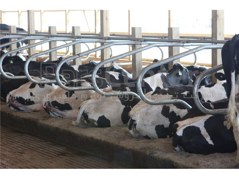 فریم فری استال گاو شیری